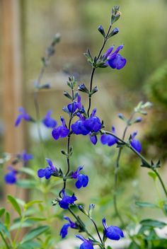 Salvia Blue Note = n° 8 parterre terrasse Hummingbird Plants, All About Plants, Garden Styles, Dream Garden, My Flower, Pretty Flowers, Garden Inspiration, Container Gardening, Garden Wedding