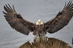 Sasse Photo Eagle in Full Glory lands in Water - Feel Free to Share Comment: I took this today (29th January 2015) when an eagle landed in my direct line of sight in the water