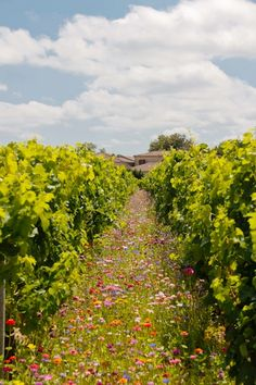 A vineyard in Saint-Emilion, Bordeaux, France ~ Wildflowers growing between the grape vines