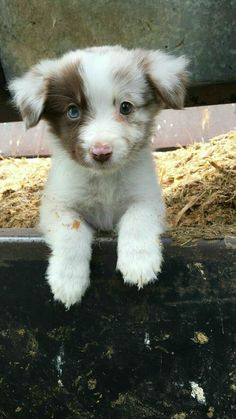Cute Little Animals, Cute Funny Animals, Funniest Animals, Funny Cats, Funny Humor, Cute Dogs And Puppies, I Love Dogs, Doggies, Aussie Puppies