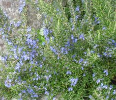 rosemary plant another strong scented flower to keep deer away, need this too