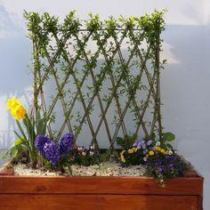 poirier en croisillon et haie fruiti re pour d coration jardin un espalier ou palmette dans. Black Bedroom Furniture Sets. Home Design Ideas