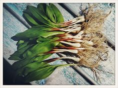 Ramps are up in Wisconsin.  Identification and recipes at www.thewisconsintimes.com  #Wisconsin #WildEdibles
