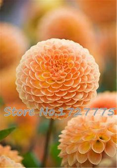 Zinnia elegans Scabiosa Mix Color Small Flower Zinnia about 100 pcs Seeds bonsai pot DIY home garden flower ,easy growing #>=#>=#>=#>=#> Click on the pin to check out discount price, color, size, shipping, etc. Save and like it!