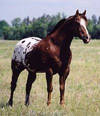 What a stud! Is he absolutely exquisite or what? Master Star, 1987 - Foundation Appaloosa Stallion, Superior Halter Sire, multiple World Champion sire Most Beautiful Horses, All The Pretty Horses, Animals Beautiful, Cute Animals, Horse Photos, Horse Pictures, Appaloosa Horses, Dressage Horses, Horse Saddles