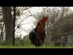 "Learn about the ""Historic Chicken Sanctuary"" in downtown Bastrop"