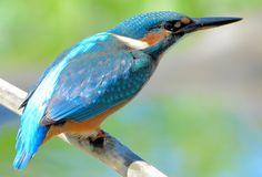 Photos about Kingfisher. Copyright © Pavol Knut Navratil