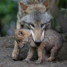 Tibetan/Mongolian Wolf and pup. The Mongolian wolf is also known as the Tibetan…