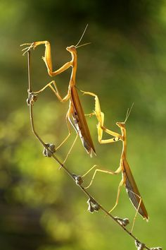 Praying Mantis, captured by photographer Mehmet Karaca as he captures the most clean and clear macro shots ever. Cool Insects, Bugs And Insects, Photo Animaliere, Cool Bugs, A Bug's Life, Beautiful Bugs, Praying Mantis, Tier Fotos, Science And Nature