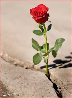 Did you hear about the rose that grew  from a crack in the concrete?   Proving nature's law is wrong it   learned to walk with out having feet.   Funny it seems, but by keeping it's dreams,   it learned to breathe fresh air.   Long live the rose that grew from concrete  when no one else ever cared.   -Tupac Shakur