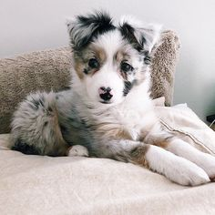 , Australian Shepherd Puppies: Bilder und Fakten - beauty that makes my soul won. , Australian Shepherd Puppies: Bilder und Fakten - beauty that makes my soul wonder - Cute Little Animals, Cute Funny Animals, Funny Dogs, Funny Memes, Funny Videos, Cute Dogs And Puppies, I Love Dogs, Doggies, Cute Dogs And Cats