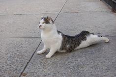 """Cat in """"Bhujangasana"""""""