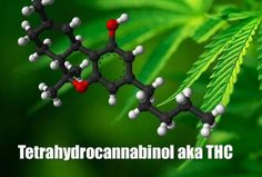 How THC Levels in Cannabis Strains Have Evolved