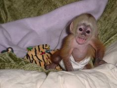 San Francisco Free classifieds ads online to sell your Monkeys. Monkeys for sale in San Francisco. Post free classifieds in San Francisco Small Monkey, Cute Baby Monkey, Pet Monkey, Capuchin Monkey For Sale, Monkeys For Sale, Baby Animals, Cute Animals, Funny Animals, Monkey Pictures
