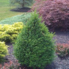 Front:  Foundation plantings   Pyramidal Boxwood at Lowes