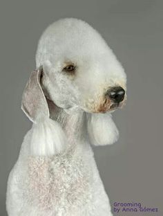 Bedlington terrier Terrier Breeds, Terrier Mix, Terrier Dogs, Dog Breeds, Rare Dogs, Dog Grooming Tips, Dogs And Puppies, Doggies, Dog Photos