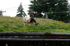 """""""This sod roof isn't particularly fancy, but you've got to love the goats hanging out up there!"""""""
