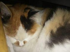 獅子丸。 お気にの場所で寝るのは 気持ちいいニャン♪