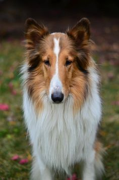 Jasper the Rough Collie. Looks a lot like my Chesney.