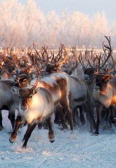 Beautiful Reindeer herd!