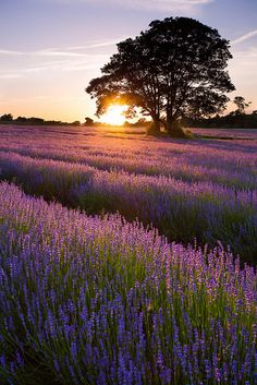 Sunset Lavender (by Olly Plumstead) Beautiful World, Beautiful Places, Beautiful Pictures, Lavender Fields, Lavander, Landscape Pictures, Amazing Nature, Beautiful Landscapes, Champs