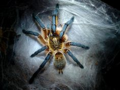 Harpactira pulchripes (Golden blue legged baboon tarantula)