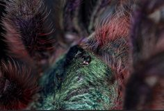 Avicularia versicolor Pink Toes, Pictures, Photos, Grimm