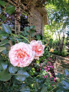 Love my Abraham Darby English rose,