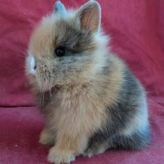Picture of Harlequin Lionhead Rabbit                                                                                                                                                                                 More