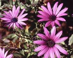 Dimorphotheca jucunda (osteospermum juc.) - Google Search Purple Flowers, Colorful Flowers, White Flowers, National Botanical Gardens, African Plants, Mother Plant, Pink Daisy, Garden Pests, Types Of Plants