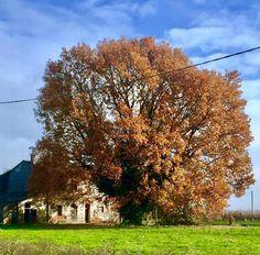 Emilia Romagna -  Roverella - Quercus pubescens Willd. - Villa Rotta - Carpinello (Forlì) Via Fiumicello , angolo Ca' Bagnoli - 23-11-2016 - Iris Masini (36)