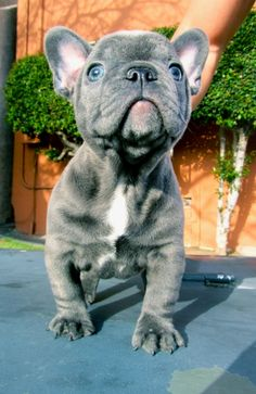 I love these dogs (french bulldogs). Totally want one :)
