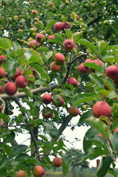 I really want to go apple picking, then make some apple sauce! #organic and #gardening Favorite fruit to grow