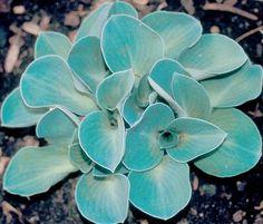 Blue Mouse Ears