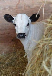 (disambiguation) Cow is a colloquial term for cattle, and the name of female cattle. Cow, cows or COW may also refer to: Farm Animals, Animals And Pets, Cute Animals, Wild Animals, Strange Animals, Beautiful Creatures, Animals Beautiful, Baby Cows, Baby Elephants