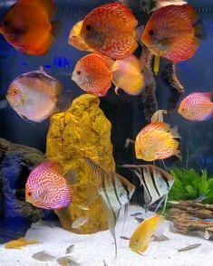 Aquarium Sump, Discus Aquarium, Saltwater Aquarium Fish, Tropical Freshwater Fish, Freshwater Aquarium, Tropical Fish, Discus Fish For Sale, Acara Disco, Cool Fish