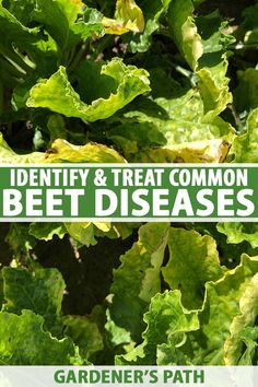 Dealing with beet diseases can be super frustrating, and some of them can completely destroy your harvest. Fortunately, with the right knowledge, you can tackle most problems before they get out of hand. Gardener's Path arms you with the tools you need to tackle your garden woes. Read more. #beets #gardenerspath Vertical Vegetable Gardens, Vegetable Garden For Beginners, Gardening For Beginners, Gardening Tips, Vegetable Gardening, Container Gardening, Greenhouse Growing, Greenhouse Gardening, Growing Vegetables At Home