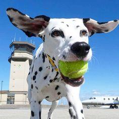 いいね!344件、コメント9件 ― Mikaさん(@mymikamoo)のInstagramアカウント: 「working like a dog 🐶 - #ilovemydog #tennisball #dalmatian_feature #dogscorner #getoutdoors…」
