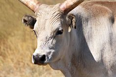 PHOTO: Hungarian Grey Cattle that roam the Puszta grasslands of eastern Hungary were saved from extinction