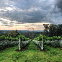 Vineyard at Adventure Farm of Albemarle Co. Adventure Farm, The Scout Guide, Farm Shop, Charlottesville, Tasting Room, Fall Season, Virginia, Vineyard, Country Roads