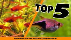 Top 5 Aquarium school vissen - beste beginners scholenvissen Aquarium, Fish, Pets, School, Animals, Animais, Animales, Animaux, Pisces