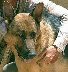 German Shepherd dog Beast in 1977 horror film The Hills Have Eyes German Shepherds, German Shepherd Dogs, The Hills Have Eyes, Wes Craven, Horror Film, Beast, Corgi, Cinema, Animals