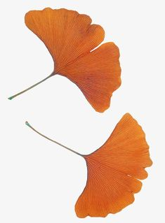 Ginkgo biloba PNG and Clipart