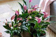Bloeiende kamerplanten -  Flamingoplant