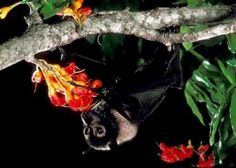 Information about bats and bat conservation with searchable species profiles by state