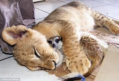 The meerkat and the weird cat: Lion cub makes an unlikely new best friend