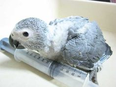 so cute, baby african grey parrot. <3    Hand Fed Baby Congo African Grey Parrot