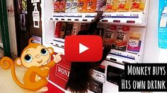 Watch Monkey Buy his own Drink from the Vending Machine via geniushowto.com funny pet videos
