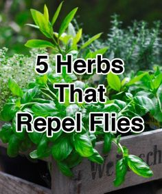 5 Herbs That Repel Flies      -      1.  BASIL      -     2.  BAY LEAVES     -     3. LAVENDER     -     4.  TANSY     -     5.PENNYROYAL     -     http://naturehacks.com/herbs/5-herbs-that-repel-flies/