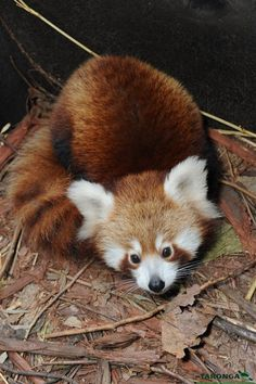 "Little red panda at the Taronga Zoo named Seba, meaning ""reward"" in Nepalese."